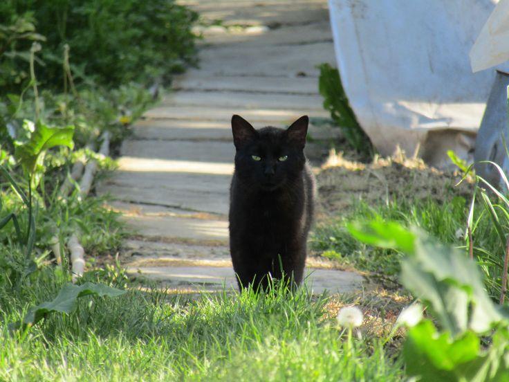 black cat #mycat #backyard