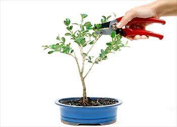 Με τον όρο Bonsai * περιγράφεται μία αρχαία ιαπωνική τέχνη καλλιέργειας δέντρων-νάνων. Παρακάτω δίνονται 12 απλά βήματα για να πειραματιστε...