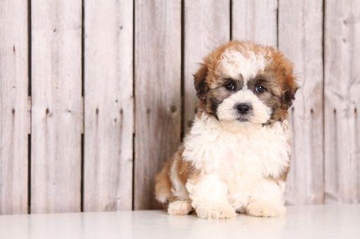 Zuchon puppy for sale in MOUNT VERNON, OH. ADN-29184 on PuppyFinder.com Gender: Male. Age: 8 Weeks Old