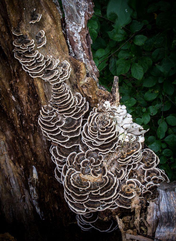 Turkey-tail polypore fungus on dead tree trunk