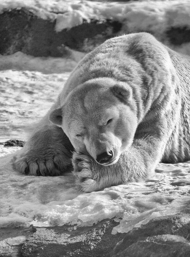 черно-белые картинки с медвежатами