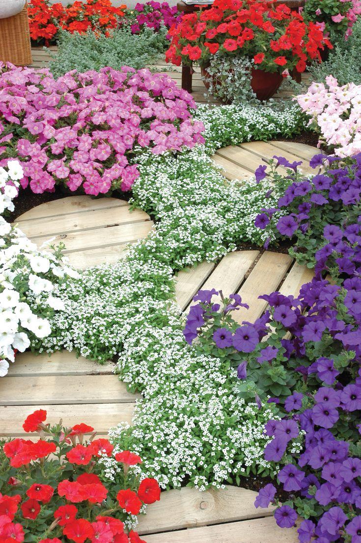 """Цветы алиссум : всё, что нужно знать о посадке, выращивании и уходе 50+ фото http://happymodern.ru/alyssum-foto/ Сорт """"Снежный ковер"""" прекрасно смотрится с другими цветами"""
