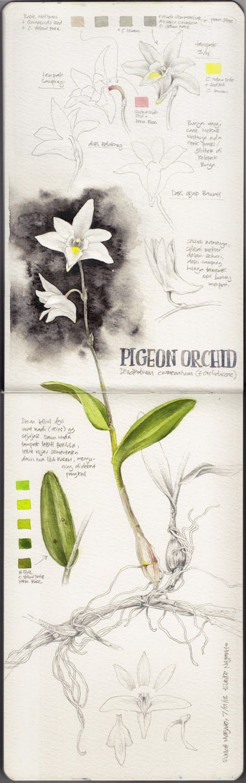 Pigeon Orchid study by illustrator Eunike Nugroho. Nugroho was process blogging the creation of her illustrations, which means her blog contains lots of helpful technical information.