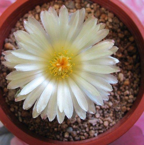 Flor Astrophytum Myriostigma ♥