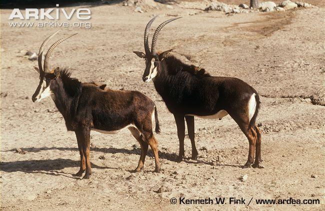 Giant Sable Antelope  ...