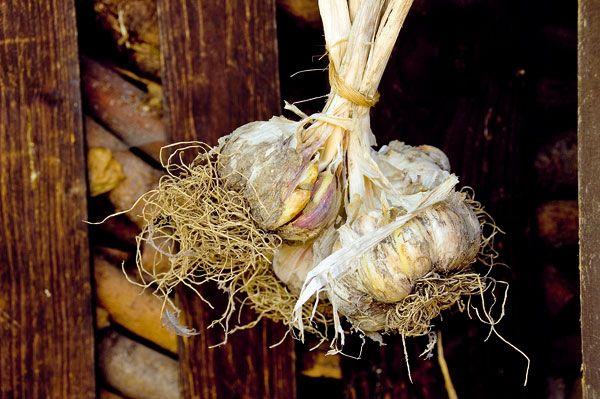 Zdravý cesnak zvlastnej úrody 3