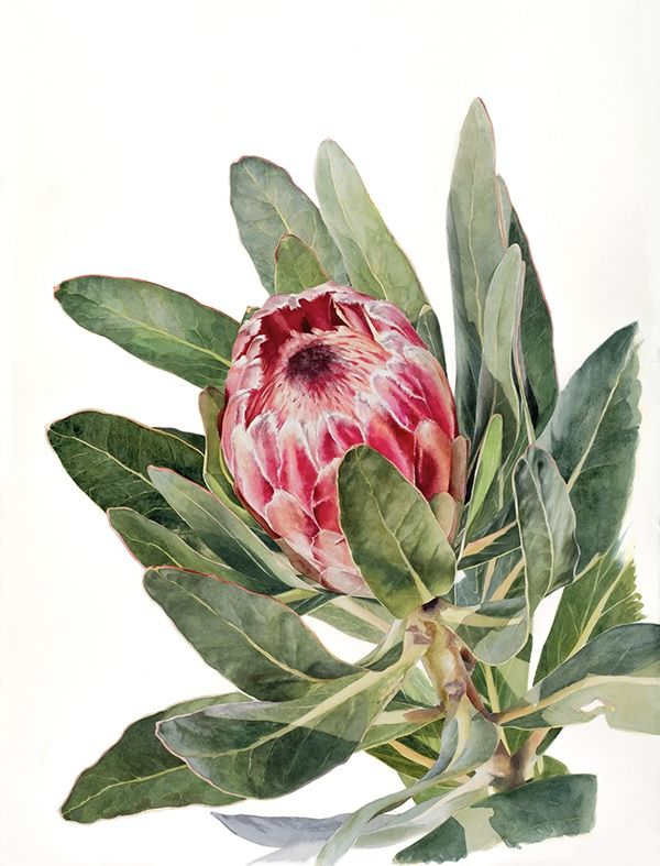https://www.behance.net/gallery/17684023/Protea-in-Watercolour
