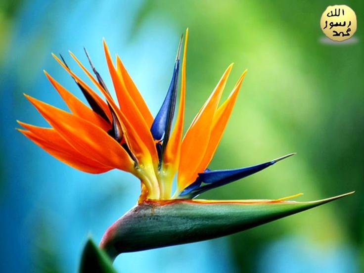 Nisan, Mayıs aylarında başlayarak açan 15 cm uzunluktaki çiçekleri yeşil-mor renkli gaga biçimli bir çiçek tabanından çıkan sarı, turuncu çanakyaprakları ve koyu mavi renklidir.