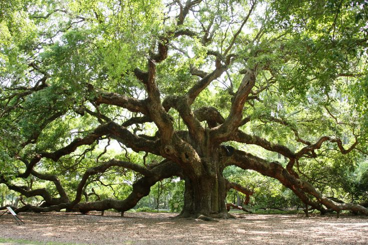 I hope my kids one day will get to see Angel Oak.....without it being destroyed