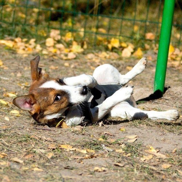 Сири - не игрушки в телефонах, а собака породы Джек Рассел, эпично приземлившаяся на площадке садика для собак.