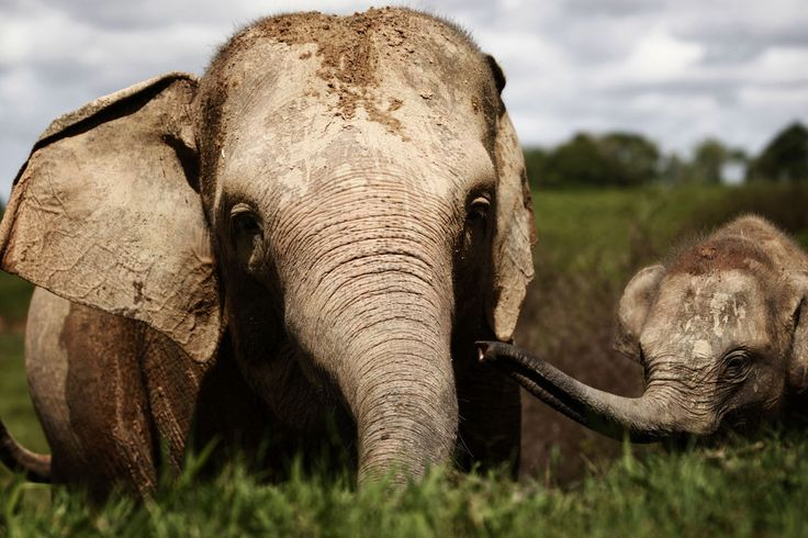 72 Incredible Elephant Facts That Will Make You Want To Save Them 18. Baby elephants are initially blind and some take to sucking their trunk for comfort in the same way that humans suck their thumbs.