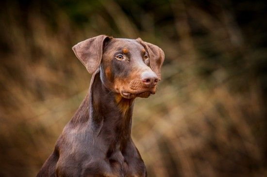 Brown & tan Dobermann with natural ears
