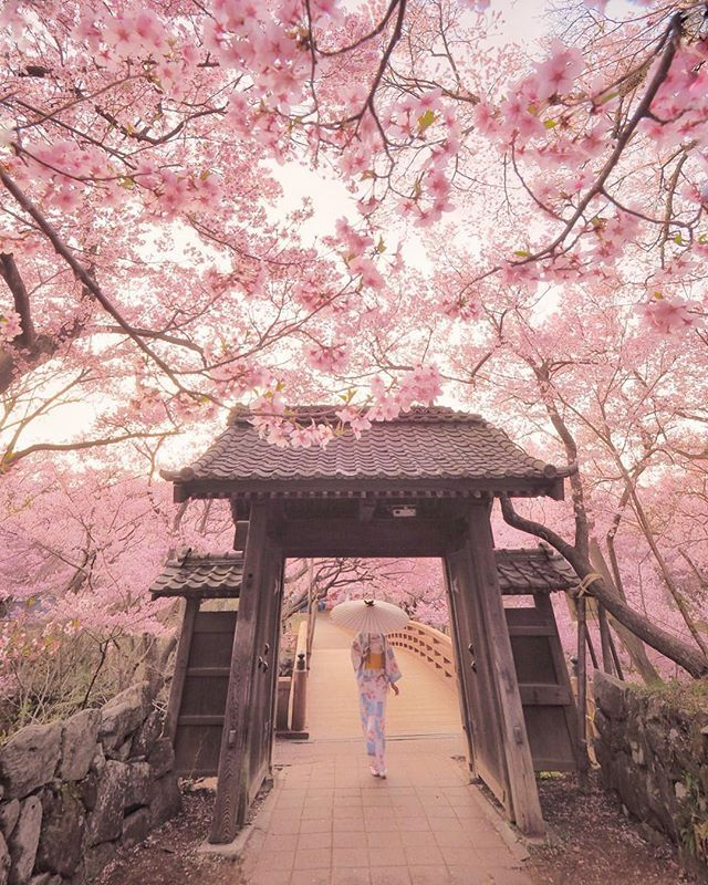 Cherry Blossoms Can Be Seen In Japan From The End Of March To The Middle Of Apri Cherry Blossom Japan Cherry Blossom Wallpaper Nature Photography