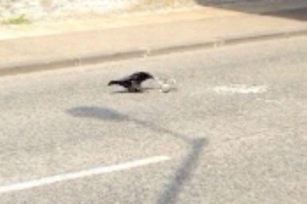 o corvo e o filhote de pombo