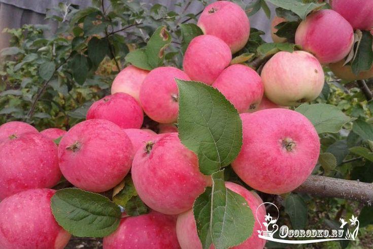 Как посадить молодую яблоню? Как правильно выбрать саженец? Куда и когда сажать яблоню? Подробные ответы на эти и многие другие вопросы читайте в статье…