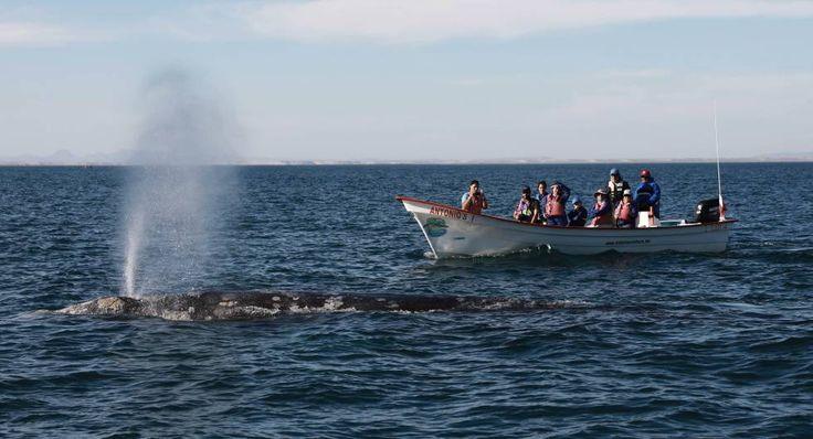 Una ballena gris cerca de la lancha en la laguna de San Ignacio.