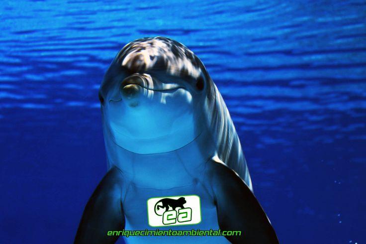 www.enriquecimientoambiental.com Los delfines usan los oídos para ver... ¿que? ¿Como es eso? Pues parece ser que las últimas investigaciones, apuntan, que existen dos áreas del cerebro del delfín, que están asociados con el oído, a diferencia del resto de los mamíferos, que suelen procesar el sonido en una sola área. Gregory Berns, neuro-científico de la Universidad de Emory, centró su estudio en el sistema auditivo de estos animales, ya que al igual que los murciélagos disponen de…