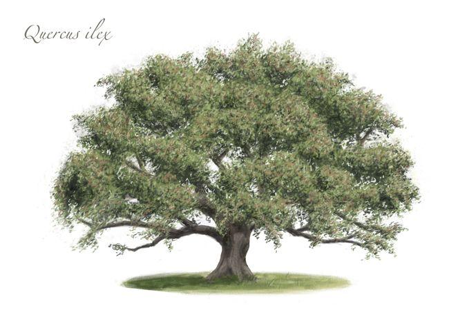 Quercus ilex. #Encina #Carrasca  Dibujo de Santi Martín