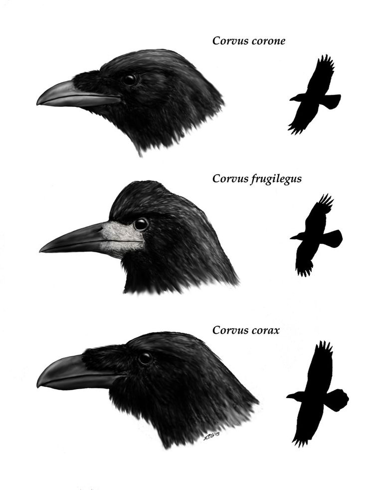 Crows by ~unlobogris -Carrion crow (Corvus corone) -Rook (Corvus frugilegus) -Raven (Corvus corax)