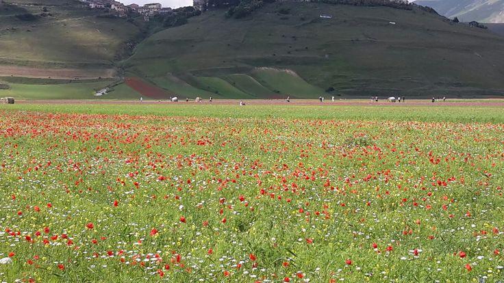 Castelluccio di Norcia - Umbria Red flowers