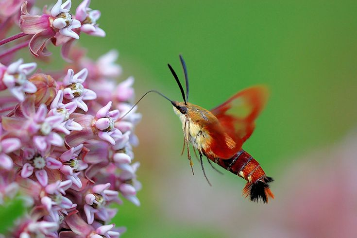 Pin by Rhonda Stangle on Insects/Bugs | Hummingbird ...