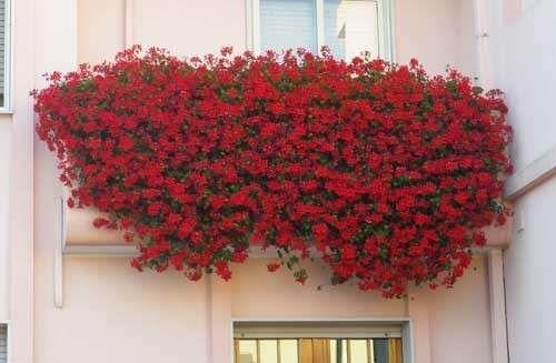 Piante pendenti da balcone - Gerani rossi sul balcone