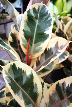 e33e071021b7a94c2f56e841650d1e58--foliage-plants-potted-plants Variegated Potted Plant House on potted plant succulent, potted plant blue, potted plant beautiful, potted plant small, potted plant color, potted plant flower, potted plant long,