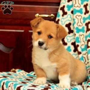 Pembroke Welsh Corgi Breeders in PA with Welsh Corgi puppies for sale! The Welsh Corgi is a perky family oriented breed with a loving and loyal disposition.