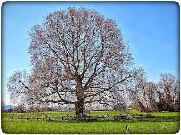 il platano monumentale di Carpinello, fraz. di Forlì Platanus orientalis, ha circa 250 anni, è alto 30 metri ha una circonferenza alla base di 6 metri - classificato secondo albero, fra i più belli d'Italia