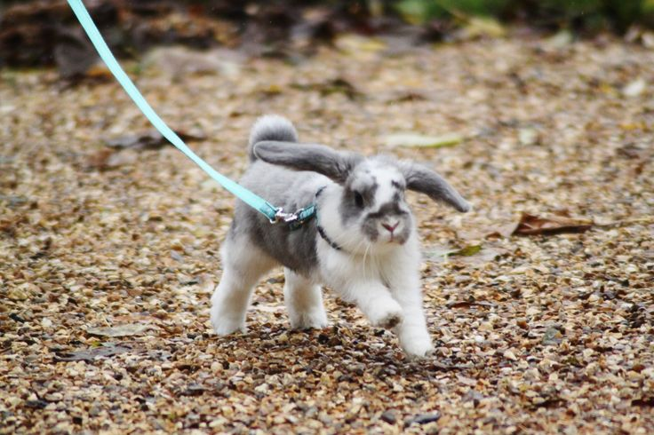 Young mini lop out for a walk