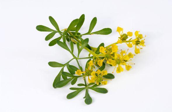 Hay muchas plantas medicinales que son casi tesoros de la naturaleza y una de ellas es la ruda y es que tal como lo dice su nombre, es ruda cuando de curar