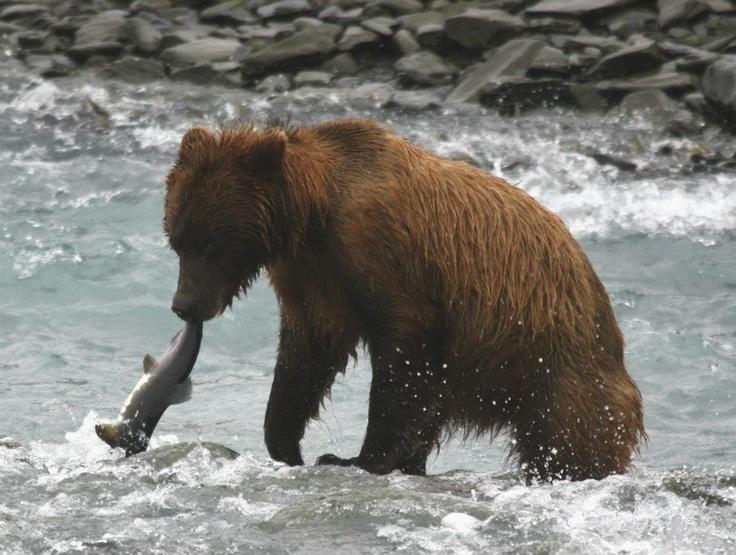 Ինչպես է արջը ձուկ որսում գետում.Տեսանյութ