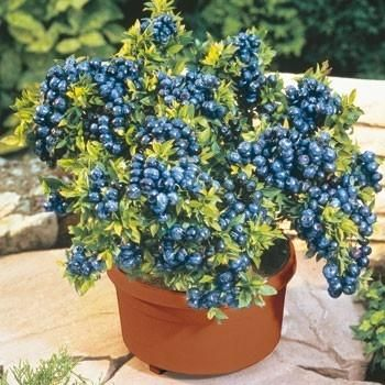 All you need to know to grow your own blueberries. Acidic soil and a big container!