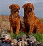 Red Golden Retriever Puppies - Bing Images