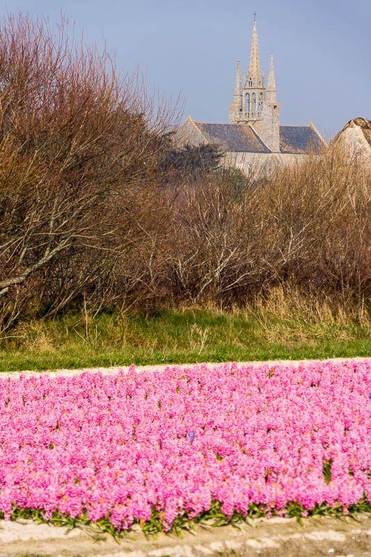 La torche - champ de tulipes