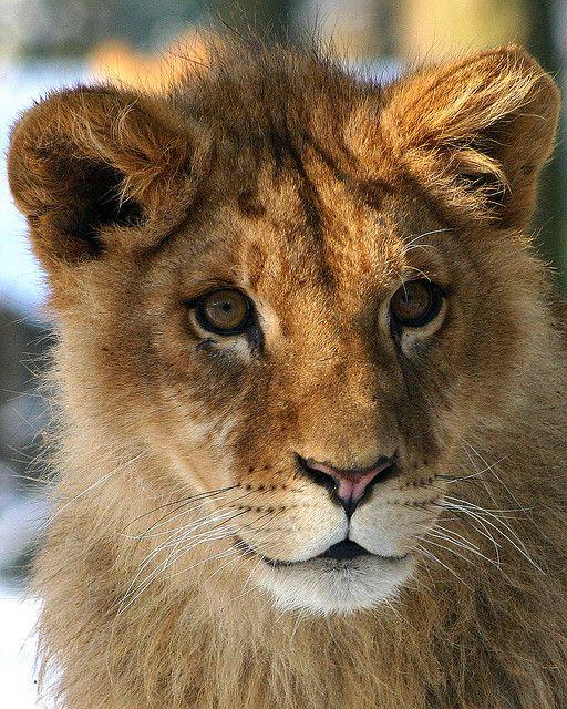 "*  * "" Iz didn'ts realize dat I yam a NPR lion in a Fox news world."""