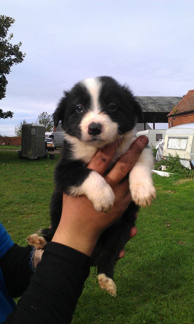 Border Collie Puppy what an adorable little chap!