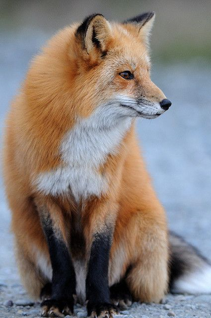 Red fox portrait by Matt Knoth