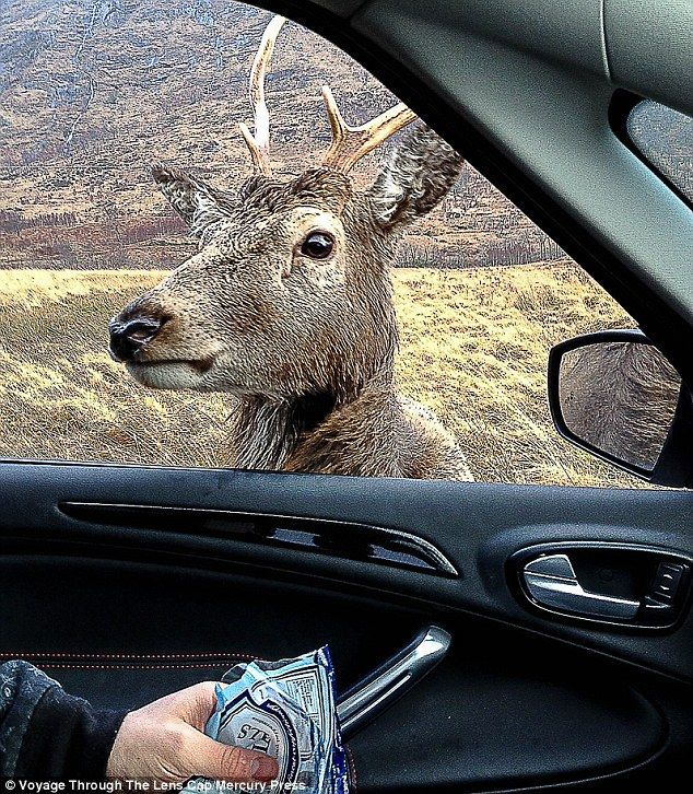 Bold: The stag came up to the car, holdingPaul Masterton and his nephew Shaun Devenney, without a care