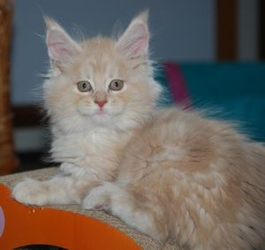 Maine Coon, Creme Silver Blotched (es 22) Racoones Resort Kachina