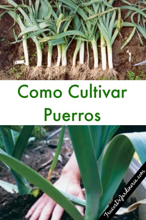 Como Cultivar Puerros Cultivo De Plantas Huerta En Macetas Y