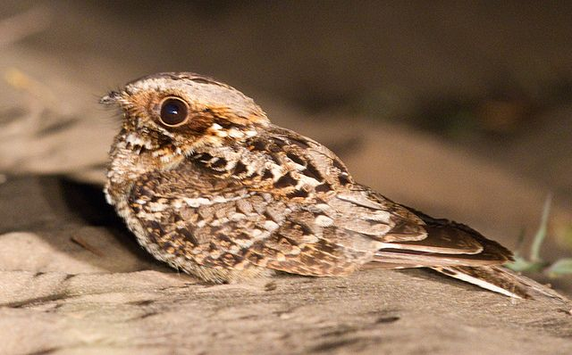 The Eastern Whip-poor-will, (Antrostomus vociferus), is a medium-sized (22–27 cm) nightjar bird from North and Central America. The whip-poor-will is commonly heard within its range, but less often seen because of its superior camouflage. It is named onomatopoeically after its song.