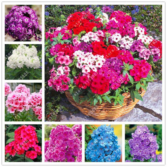 100 Sztuk Worek Floks Kwiaty Doniczkowe Nasiona Bonsai Nasiona Kwiatow Floks Drummondii Floks Roslin Dla Domu Ogrod Phlox Flowers Flower Seeds Bonsai Flower
