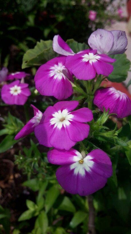 Flores púrpuras bicolor 4
