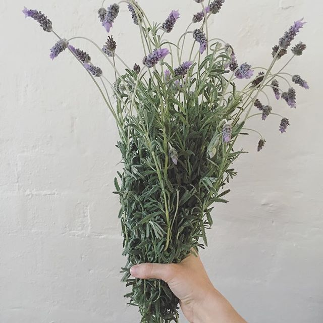 Lavendula spp. Freshly picked this morning 💜 Half for my consultation room, and the other half to be used for infusing. The flowers are used for nervous exhaustion, headaches, colic and indigestion. Harvest toward the end of flowering, as the petals begin to fade. Wash and dry in small bunches, hang to dry, leaving paper bags underneath to collect the flowers as they fall. Steep the dried flowers in hot water for 10 minutes before drinking.  Enjoy! {Avoid ingestion of lavender during…