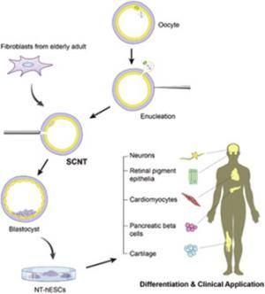 Researchers successfully clone adult human stem cells