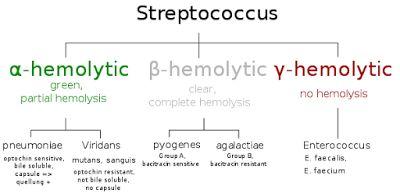 microBIO: Rebecca C. Lancefield, la mujer que puso orden en los estreptococos