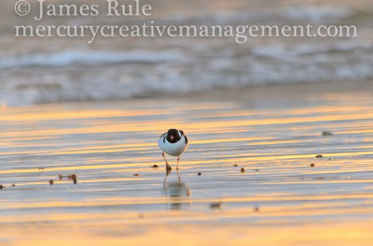 rare hooded plover on Victorian beach, Southern Australia #wildlifephotography