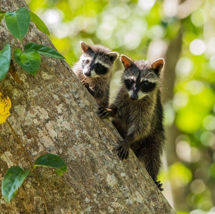 Two Raccoons on a tree (Photo credit to Zdenek Machacek ...