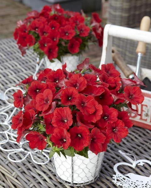 Surfinia Deep Red.  Kwiat: czerwony; pokrój: zwarty, zwisający; wzrost: silny; termin kwitnienia: średniowczesny; stanowisko: słoneczne; sadzenie: wiszące kosze, skrzynki balkonowe; uwagi: Świetna odmiana klasycznej Surfinii. Kwitnie bardzo obficie, mocna barwa kwiatów, dobre krzewienie.